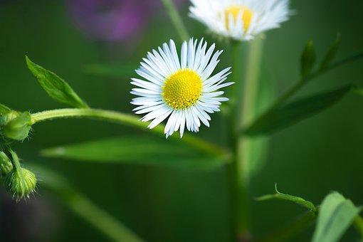 Fleabane, One Year, Annual Fleabane, Flower, White