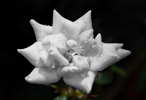 White Rose, Knockout, Rain Drops, Petals, Plant
