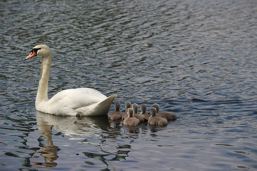 Swan, Swans, Water Bird, Water, White Swan, Pride