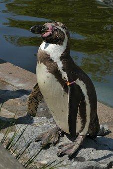 Penguin, Zoo, Zoo Planckendael, Belgium, Seabird