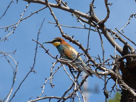 Bird, Bee-eater, Almond Tree, Abellerol
