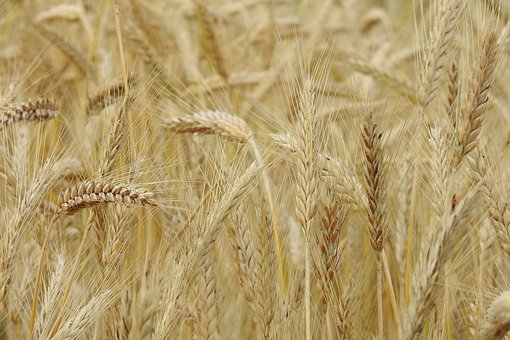 Corn, Rye, Field, Agriculture, Grains, Ears, Village