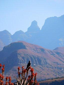 Mountains, Drakensberg, Aloe Vera, Starling, Bird