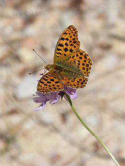 Butterfly, Orange Butterfly, Argynnis Fabricius, Flower