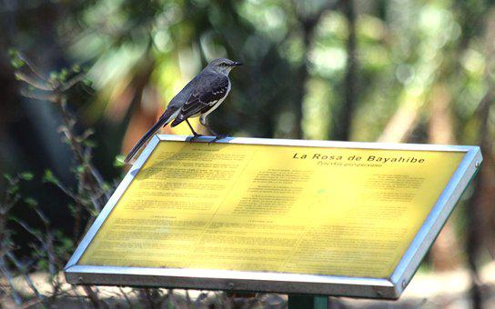 Mockingbird, Bird, Feathered Race, Living Nature