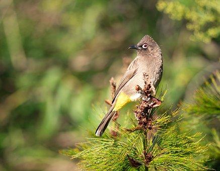 Cape Bulbul, Bird, Nature, Wildlife, Animal, Wild