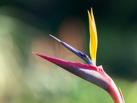 Strelitzia, Flower, Paradise, Bird, Nature