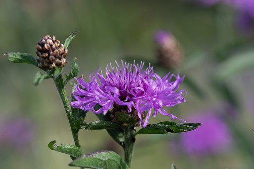 Knapweed, Purple, Flower, Blossom, Bloom, Purple Flower