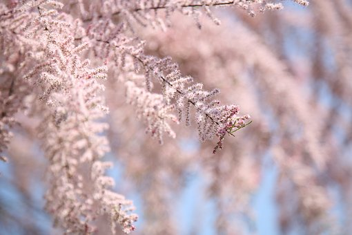 Tamarisk, Flower Bloom, Pink, Bloom, Nature, Plant