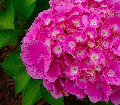 Hydrangea, Blossom, Bloom, Flower, Nature, Summer