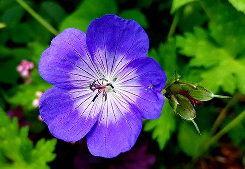 Cranesbill, Blossom, Bloom, Flower, Nature, Plant