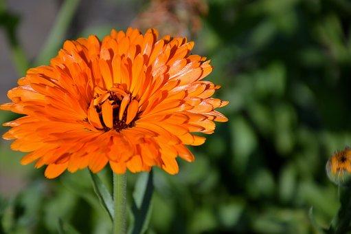 Blossom, Bloom, Marigold, Plant Nature, Orange