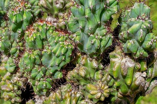 Rock Cactus, Cereus Mill, Cactus, Cactaceae, Plant