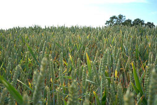 Cornfield, Grain, Field, Cereals, Agriculture, Spike