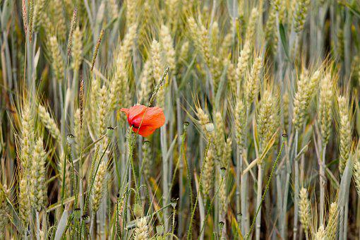 Poppy, Individually, Cereals, Cornfield, Red
