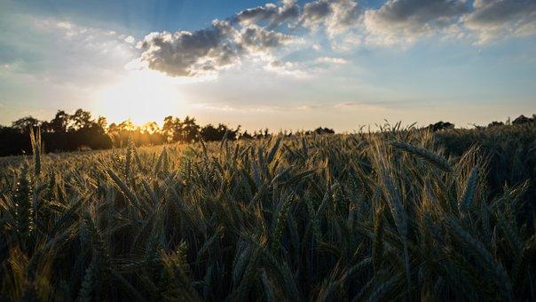 Cornfield, Field, Summer, Sunset, Clouds, Sun, Nature