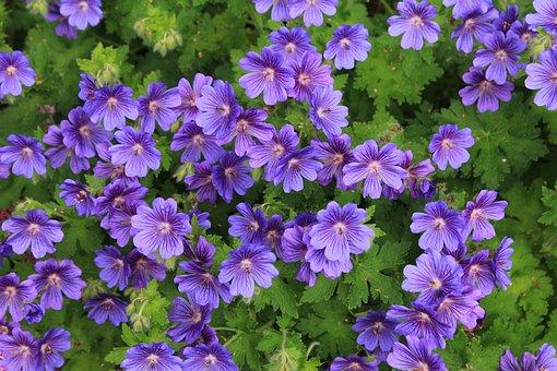 Geranium, Cranesbill, Perennial, Blossom, Bloom