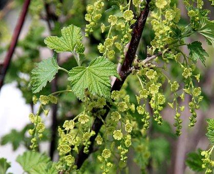 Currant, Bloom, Bush, Shrub, Plant, Garden, Berry
