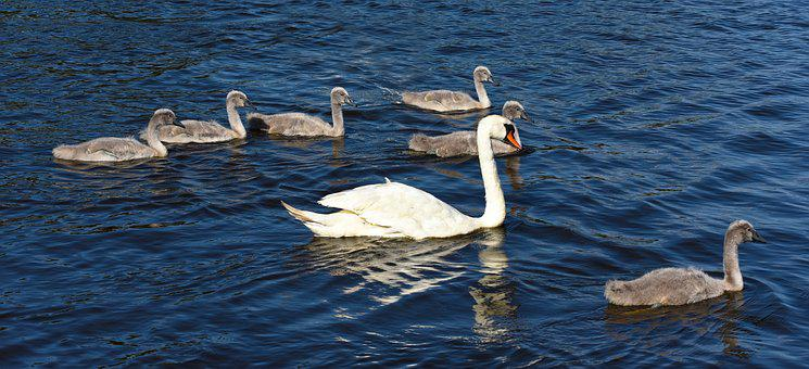 Cygnet, Swan, Waterbird, Bird, Animal, Young