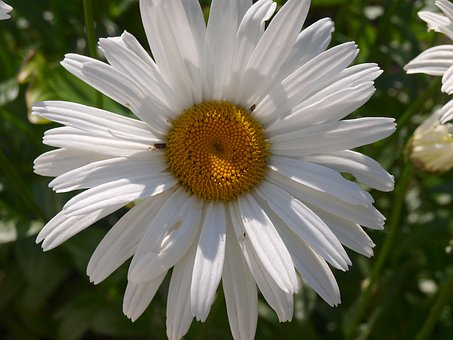 Daisy, White Flower, Spring, Petals, White Daisy