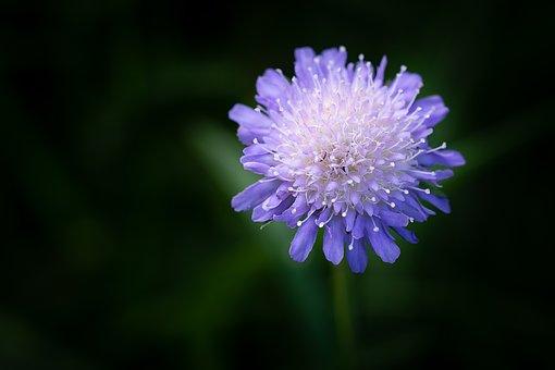 Deaf-skabiose, Pigeon Scabious, Flower, Blue