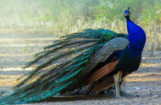 Peacock, Turkey, Ave, Feathers, Colorful, Beautiful