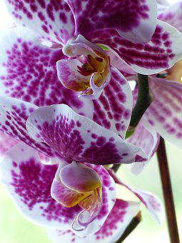 Orchid, Flower, Blossom, Bloom, Tropical, Nature, Close