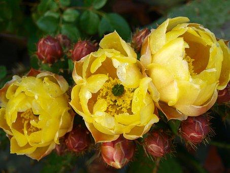Cactus, Flower Cactus, Flowering Cactus, Rare Flower