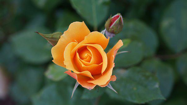 Flower, Orange, Nature, Garden, Romantic, Colorful