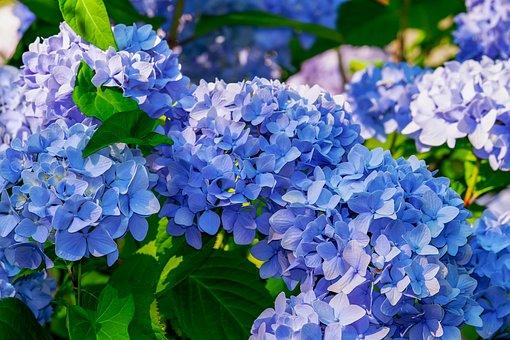 Hydrangea, Flower, Hydrangea Flower, Blue, Bright