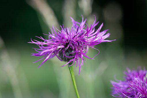 Knapweed, Purple, Flower, Blossom, Bloom, Purple Flower