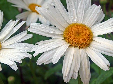 Flower Daisy, Drops Of Rain, Flowers, Daisy, Flowering