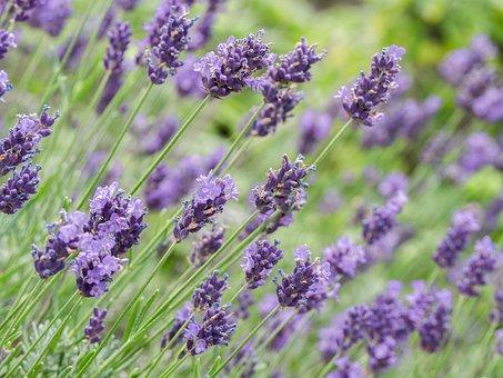 Flowers, Lavender, Violet, Bloom, Close
