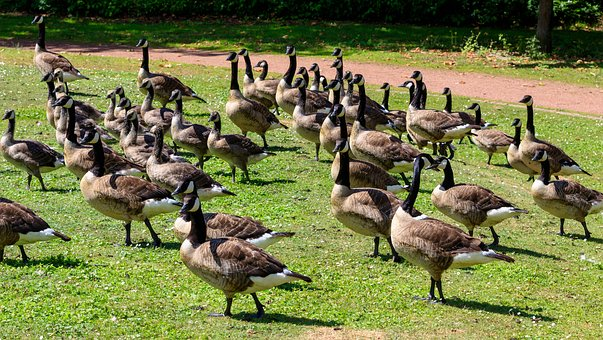 Geese, Canada Geese, Birds, Goose, Nature, Lake
