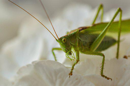 Grasshopper, Insecta, Green, Macro, Animal, Nature