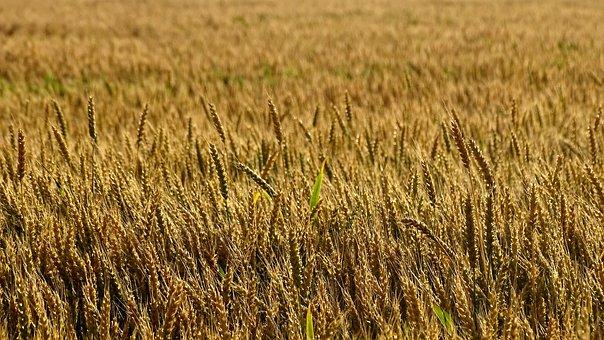 Wheat, Rye, Harvest, Field, Grain, Summer, Bread