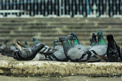 Pigeons, Bird, India, Hyderabad