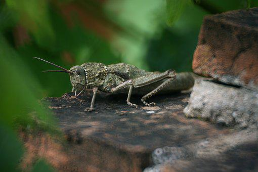 Grasshopper, Nature, Stone, Probe, Wing, Insect, Animal