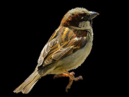 Animal, Bird, Sparrow, Sperling, Tree Sparrow, Isolated