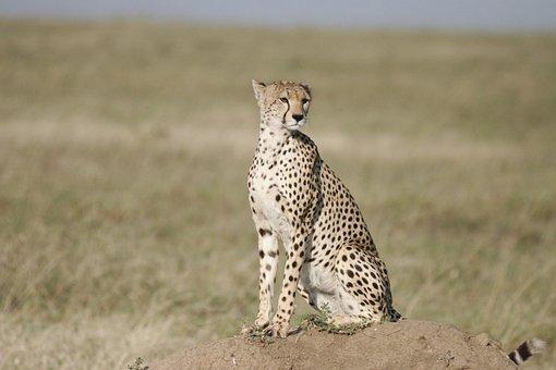Cheetah, Sit, Safari, Tanzania, Kenya, Serengeti, Cat