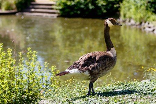 Geese, Canada Geese, Birds, Goose, Nature, Lake