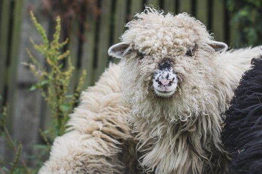 Sheep, The Head Of The, White Sheep, Ram, Lamb, Lambs