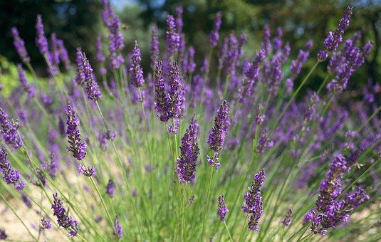 Nature, Field, Lavender, Flowers