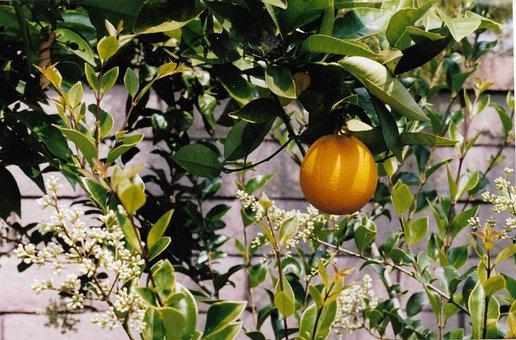 Orange, Tree, Leaves, Fruit, Summer, Drink, Mimosa