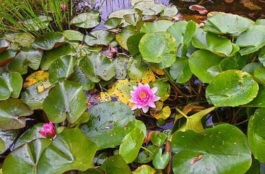 Water Lily, Aquatic Herb, Plant, Flower, Pad, Lily Pads