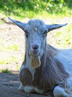 Domestic Goat, Goat, Livestock, Goat's Head, Face