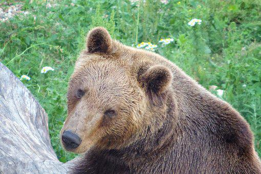 Bear, Brown Bear, Enclosure, Animal, Mammal