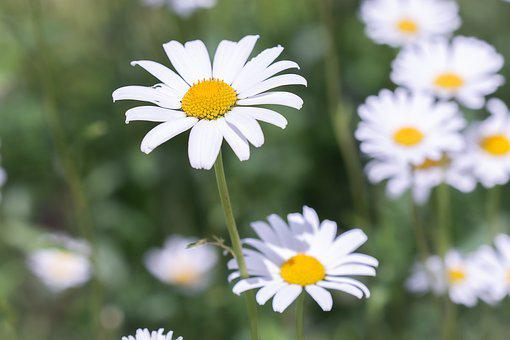 Daisies, Meadow Daisies, Flowers, White, White Flowers