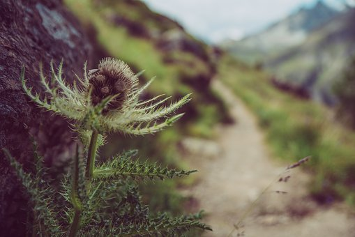 Hiking, Trail, Mountain Hiking, Mountains, Thistle