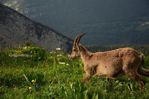 Ibex, Nature, Mounting